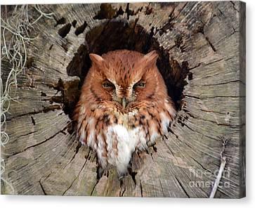 Eastern Screech Owl Canvas Print by Kathy Baccari
