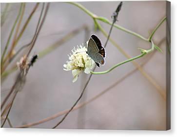 Butterfly Blue Pincushion Flower Canvas Print - Eastern Tailed Blue Butterfly On Pincushion Flower by Karen Adams