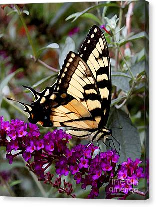 Eastern Tiger Butterfly Canvas Print by James C Thomas