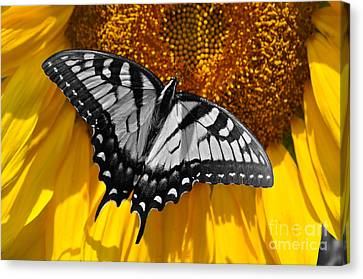 Eastern Tiger Swallow 2 Canvas Print