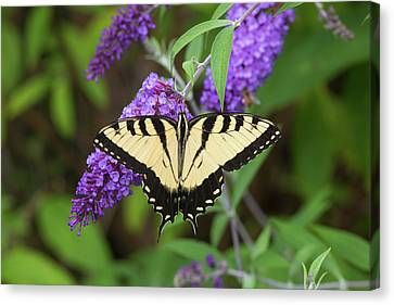Eastern Tiger Swallowtail Butterfly Canvas Print by Richard and Susan Day