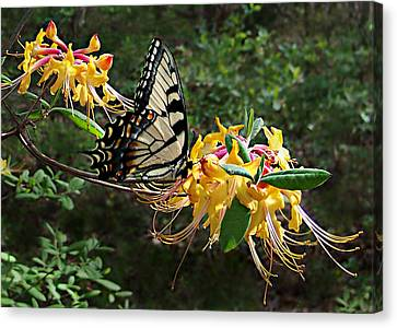Eastern Tiger Swallowtail Butterfly Canvas Print by William Tanneberger