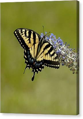 Eastern Tiger Swallowtail On Butterfly Bush Canvas Print by Lara Ellis