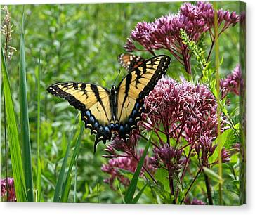 Eastern Tiger Swallowtail On Joe Pye Weed Canvas Print by Neal Eslinger