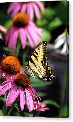 Tiger Swallowtail Canvas Print - Eastern Tiger Swallowtail (papilio by Richard and Susan Day