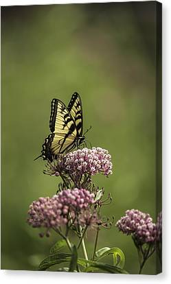 Eastern Tiger Swallowtail Canvas Print by Thomas Young