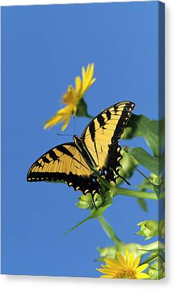 Tiger Swallowtail Canvas Print - Eastern Tiger Swallowtails (papilio by Richard and Susan Day