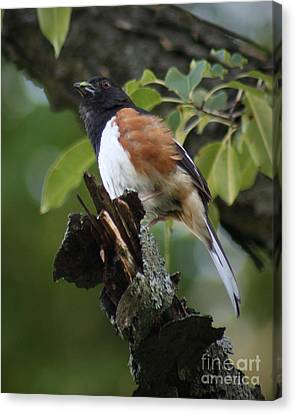 Canvas Print featuring the photograph Eastern Towhee by Anita Oakley