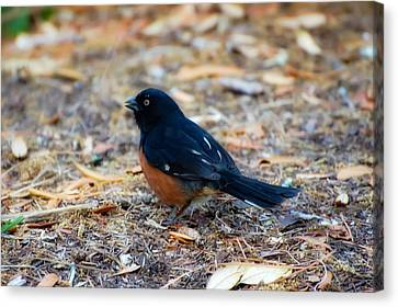 Eastern Towhee Canvas Print by Rich Leighton