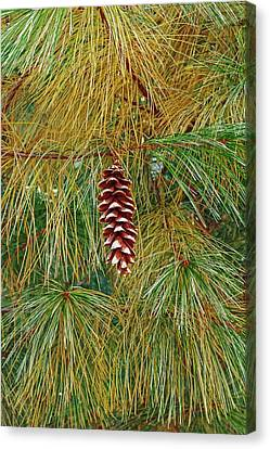 White Pines Canvas Print - Eastern White Pine (pinus Strobus) by Dr. Nick Kurzenko
