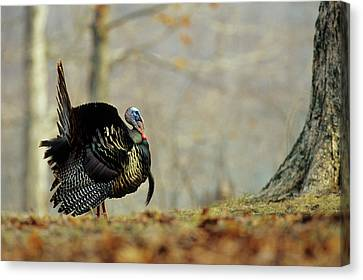 Eastern Wild Turkey (meleagris Canvas Print by Richard and Susan Day