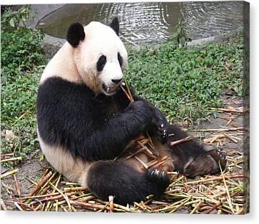 Eating Panda Canvas Print