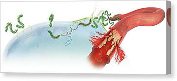 Blood System Canvas Print - Ebola Virus Infection by Claus Lunau