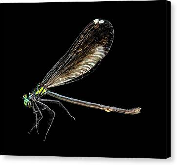 Ebony Jewelwing Damselfly Canvas Print by Us Geological Survey