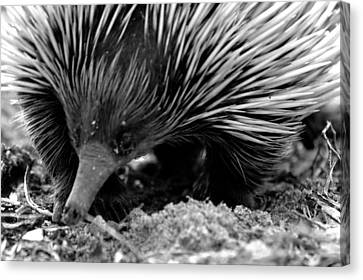 Canvas Print featuring the photograph Echidna by Miroslava Jurcik