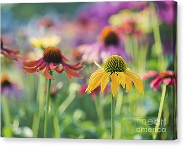 Coneflower Canvas Print - Echinacea Cheyenne Spirit by Tim Gainey
