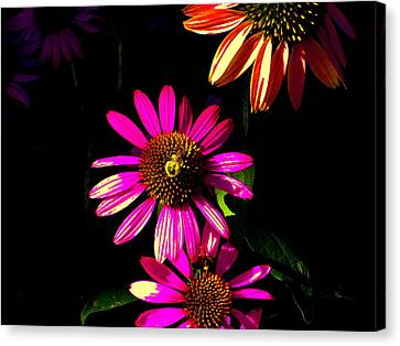 Echinacea In Hot Pink Canvas Print by Karla Ricker