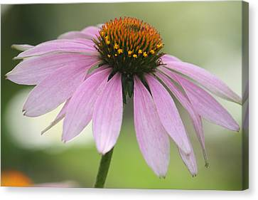 Echinacea Pink Coneflower Canvas Print by Penny Hunt