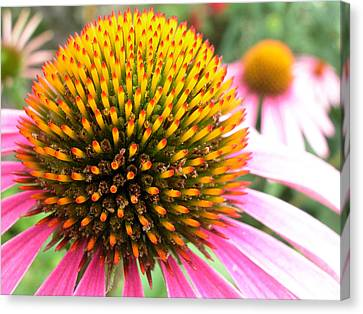 Echinacea - Purple Cone Flower Canvas Print by Rob Huntley