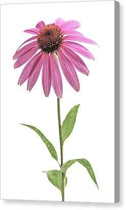 Coneflower Canvas Print - Echinacea Purpurea Flower by Elena Elisseeva