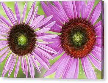 Echinacea Purpurea Rubinglow Pattern Canvas Print by Tim Gainey