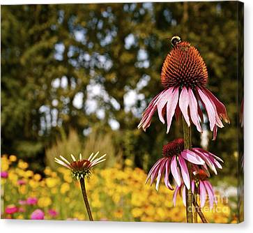 Canvas Print featuring the photograph Echinacea With Bee by Linda Bianic