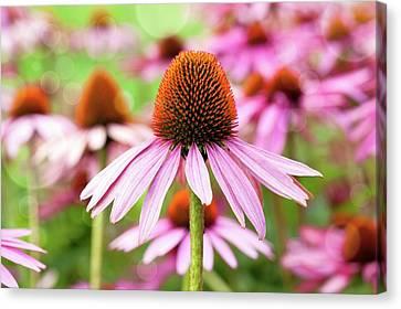 Echinacea Canvas Print