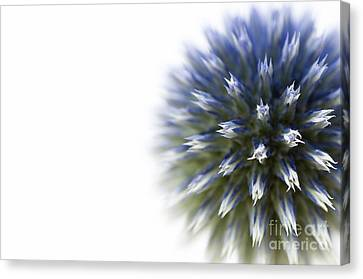 Echinops  Canvas Print by Anne Gilbert