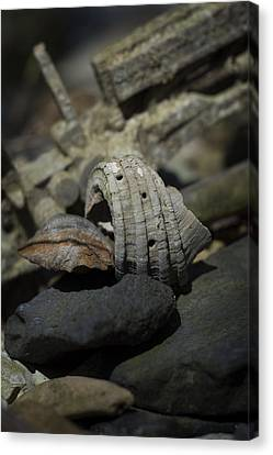 Canvas Print featuring the photograph Ecphora Gardnerae by Rebecca Sherman