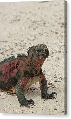 Ecuador, Galapagos, Espanola, Punta Canvas Print by Cindy Miller Hopkins