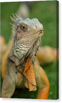 Ecuador Guayaquil Iguana In Iguana Park  Canvas Print by Anonymous