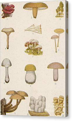 Edible American Mushrooms Canvas Print