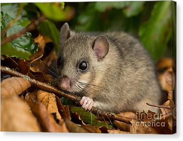 Bushy Tail Canvas Print - Edible Dormouse by Louise Heusinkveld