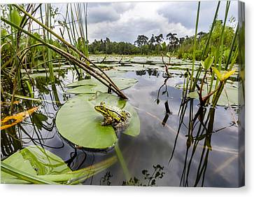 Edible Frog On Lily Pad Overijssel Canvas Print by Alex Huizinga