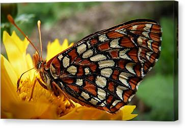 Canvas Print featuring the photograph Edith Checkerspot by Julia Hassett