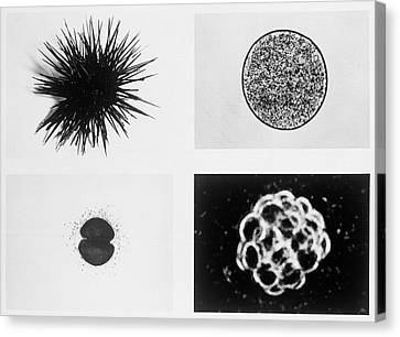 Effect Of Weightlessness On Cell Division Canvas Print by Nasa