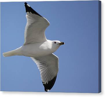 Canvas Print featuring the photograph Effortless Flight by Bill Woodstock