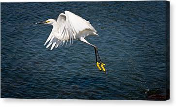 Canvas Print featuring the photograph Egret Aloft by Janis Knight