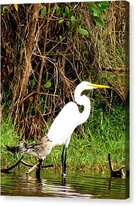 Egret And Ducks 2 Canvas Print by Will Boutin Photos