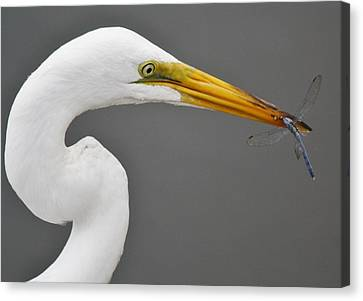 Egret And The Dragonfly Canvas Print by Paulette Thomas