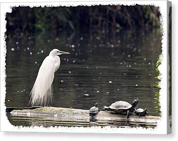 Egret And Turtles Canvas Print