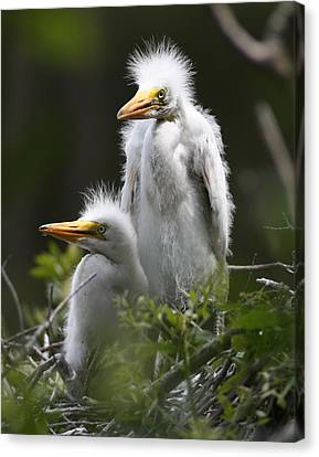 Egret Chicks 11x14 Canvas Print