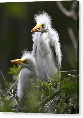 Egret Chicks 16x20 Canvas Print