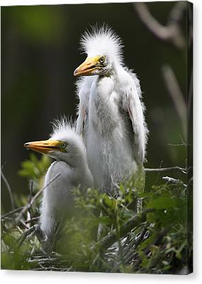 Egret Chicks 8x10 Canvas Print