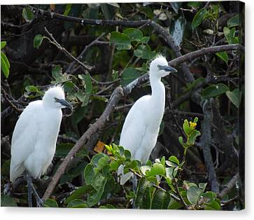 Egret Chicks Waiting To Be Fed Canvas Print by Ron Davidson