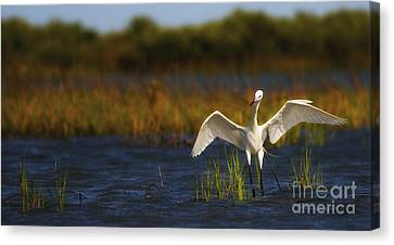 Egret Dancer Canvas Print