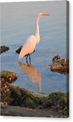 Egret - Dunedin Florida Canvas Print by Bill Cannon