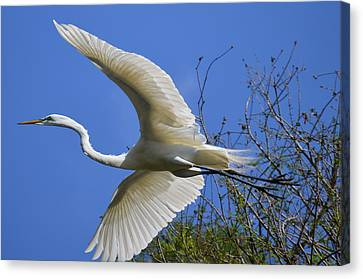 Egret Flying Canvas Print by Judith Morris