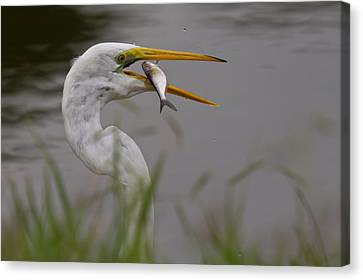 Canvas Print featuring the photograph Egret Having Lunch by Jerry Gammon