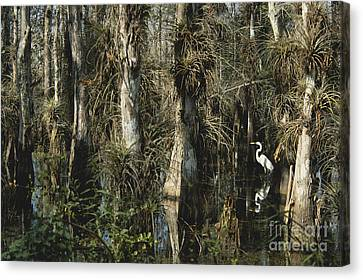 Egret In Big Cypress Canvas Print by Mark Newman